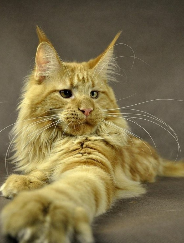 chat-maine-coon-grand-chat-roux-a-poil-long-taille-imposante