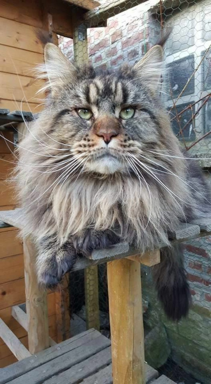 chat-maine-coon-gris-anthracite-un-chat-lion