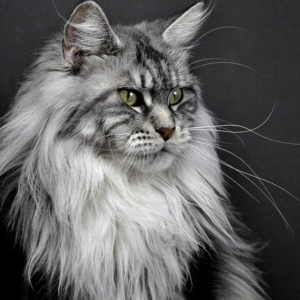 Le chat maine coon présenté en 69 photos amusantes