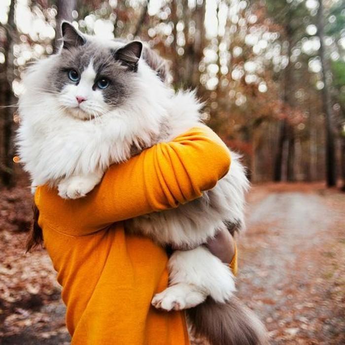 chat-maine-coon-gros-chat-maine-coone-dans-les-bras-de-sa-proprietaire