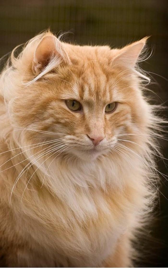 chat-maine-coon-le-doux-geant-qui-semble-à-un-lion