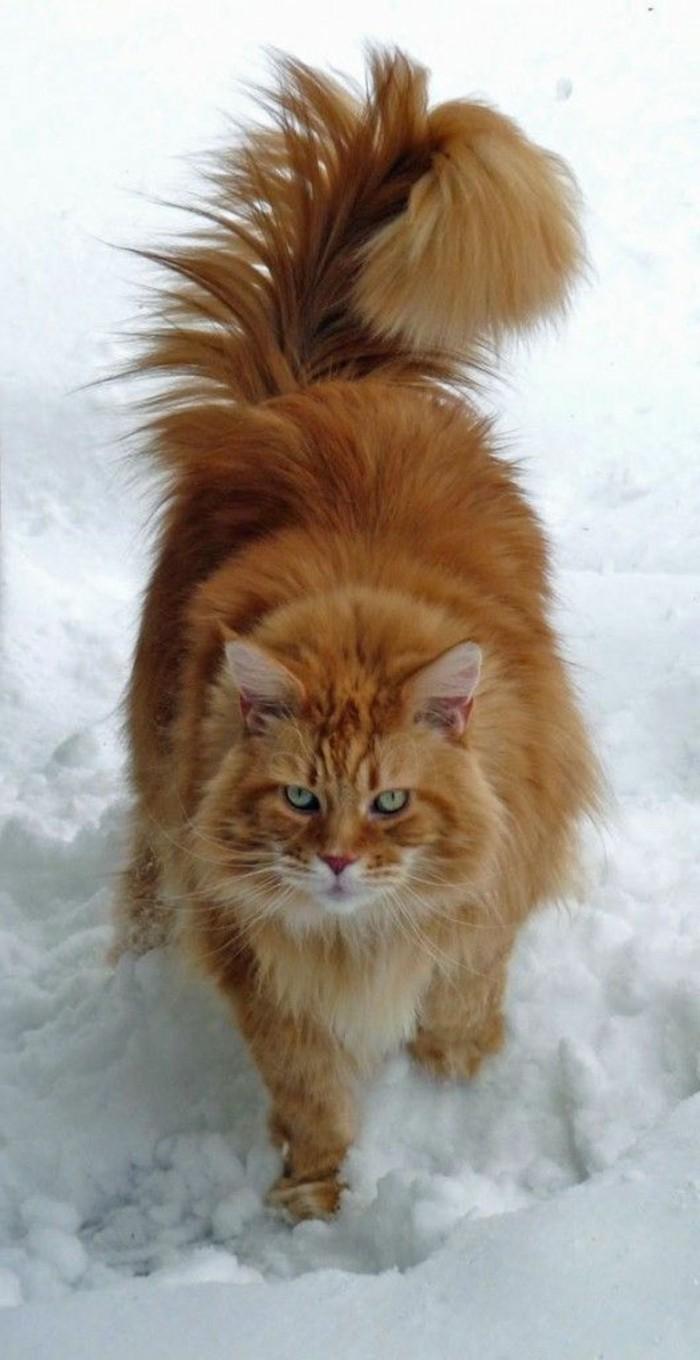 chat-maine-coon-main-coon-chat-dans-la-neige-queue-poileuse