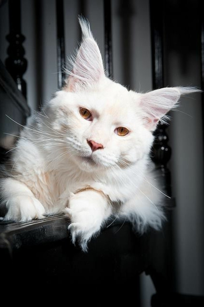 chat-maine-coon-maincoon-blanc-chat-paisible-et-joli
