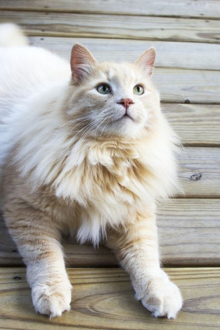 chat-maine-coon-maine-coon-chat-blanc-et-roux
