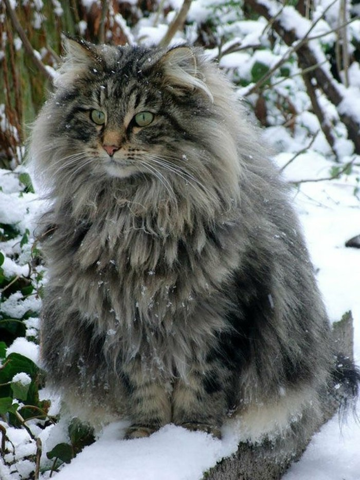 chat-maine-coon-maine-coone-ou-chat-norvegien