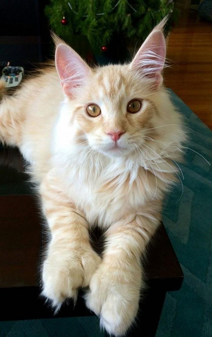 chat-maine-coon-pattes-et-oreilles-touffues-couleur-sahara
