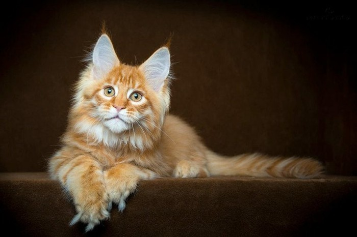 chat-maine-coon-petit-chaton-main-coon-exemplaire-roux