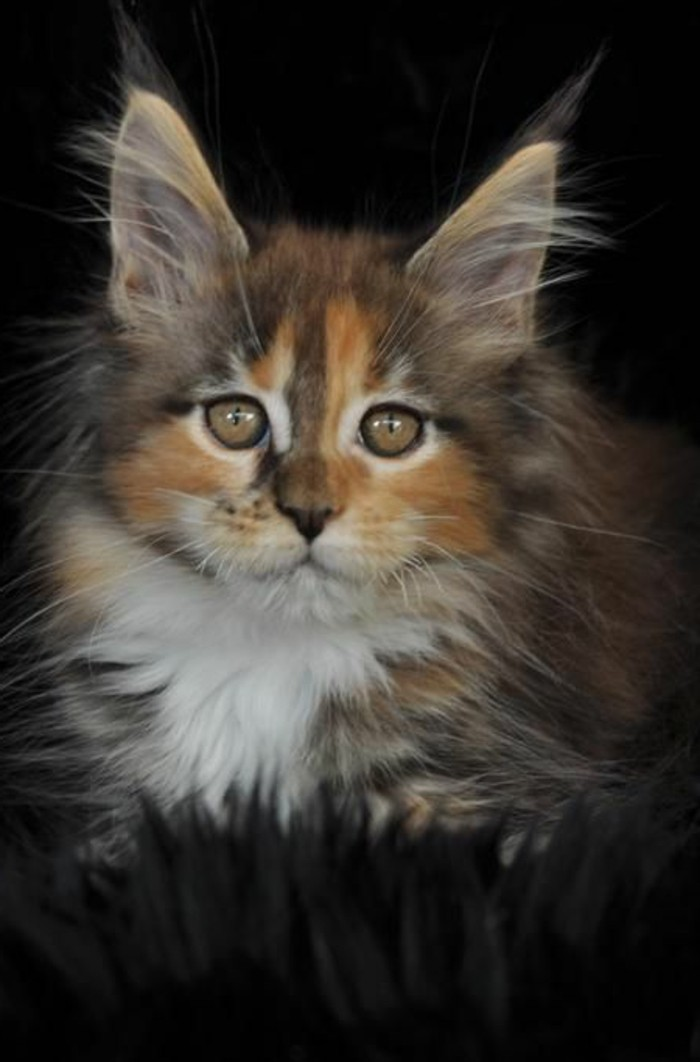 chat-maine-coon-petit-chaton-sympathique