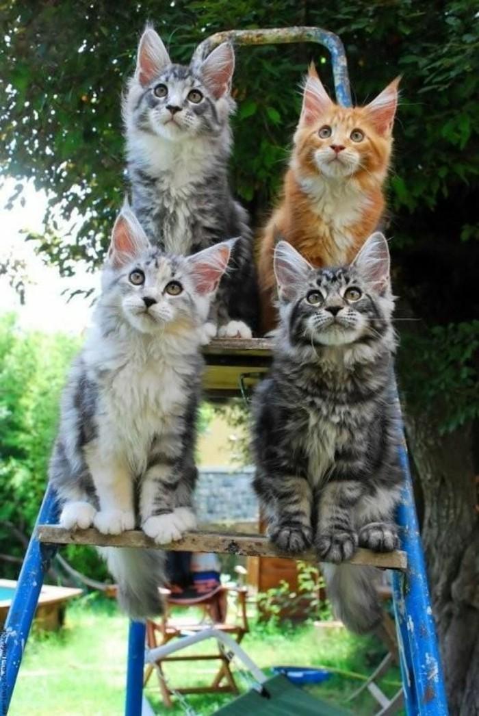 chat-maine-coon-petits-chats-main-coon-sur-une-echelle