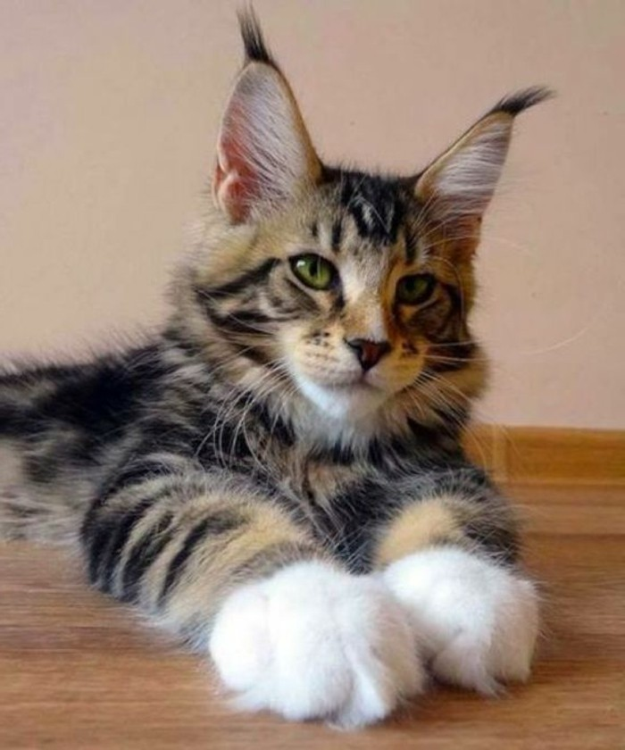chat-maine-coon-photographie-animale