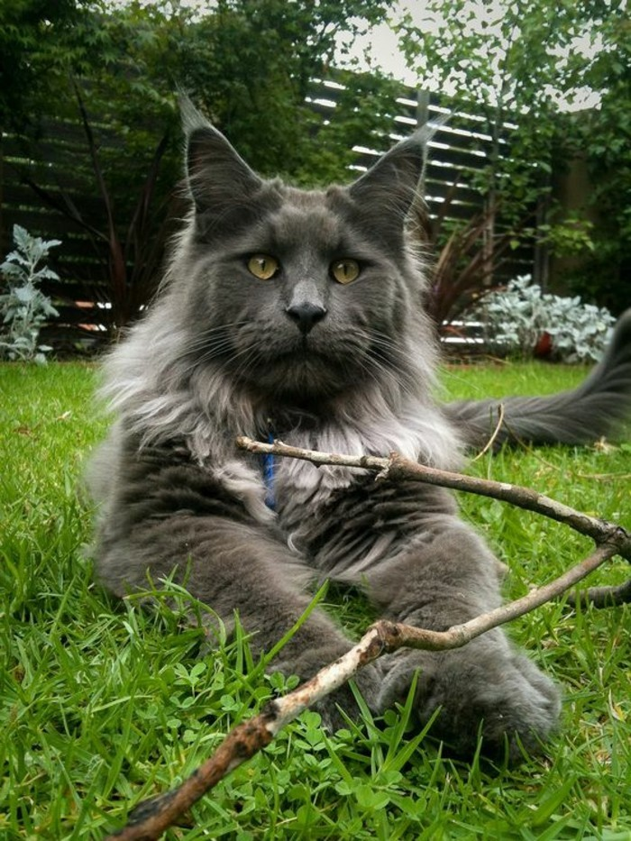 chat-maine-coon-photos-mains-coons-touchantes
