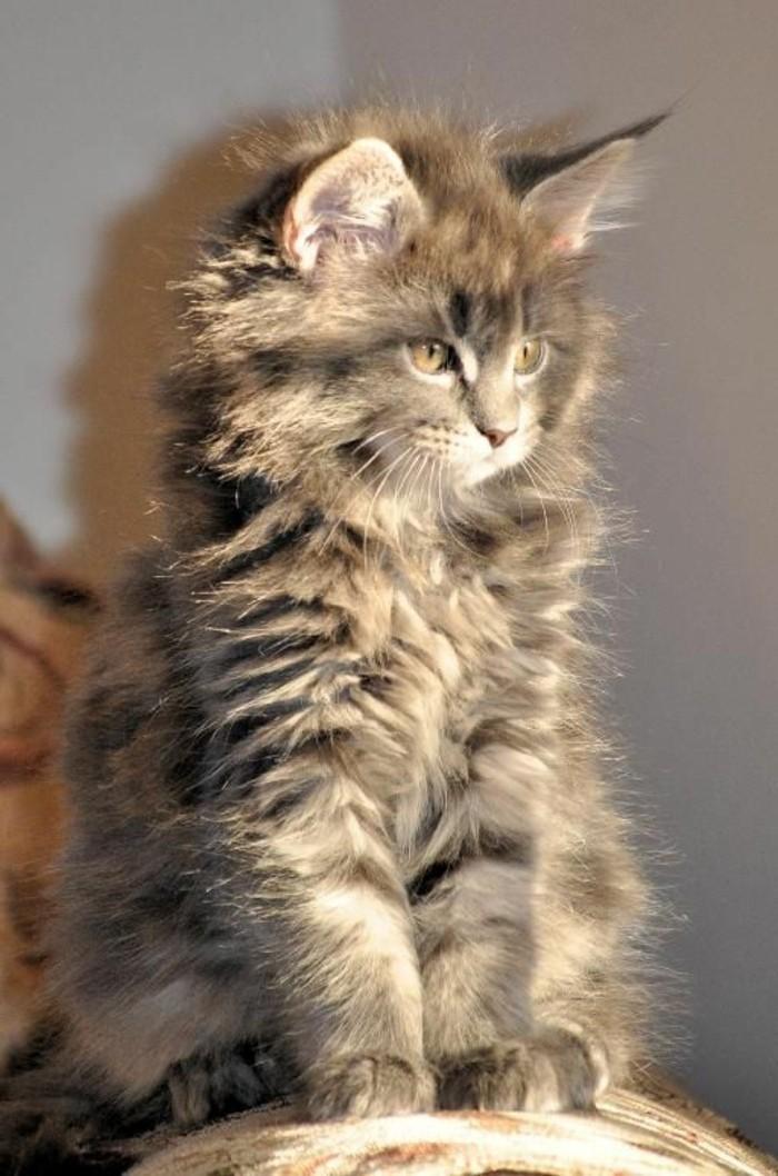le chat maine coon pr sent en 69 photos amusantes. Black Bedroom Furniture Sets. Home Design Ideas