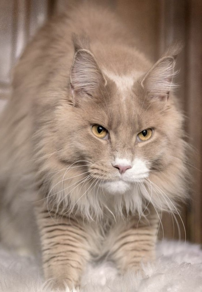 chat-maine-coon-qui-respecte-avec-son-look-royal