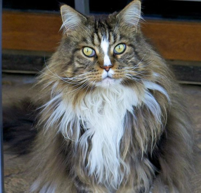chat-maine-coon-race-de-chat-favorie-des-francais