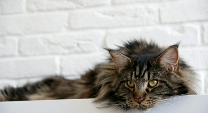 chat-maine-coon-gris-tigré