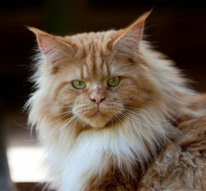 chat-maine-coon-roux-une-race-de-chats-majestueuse