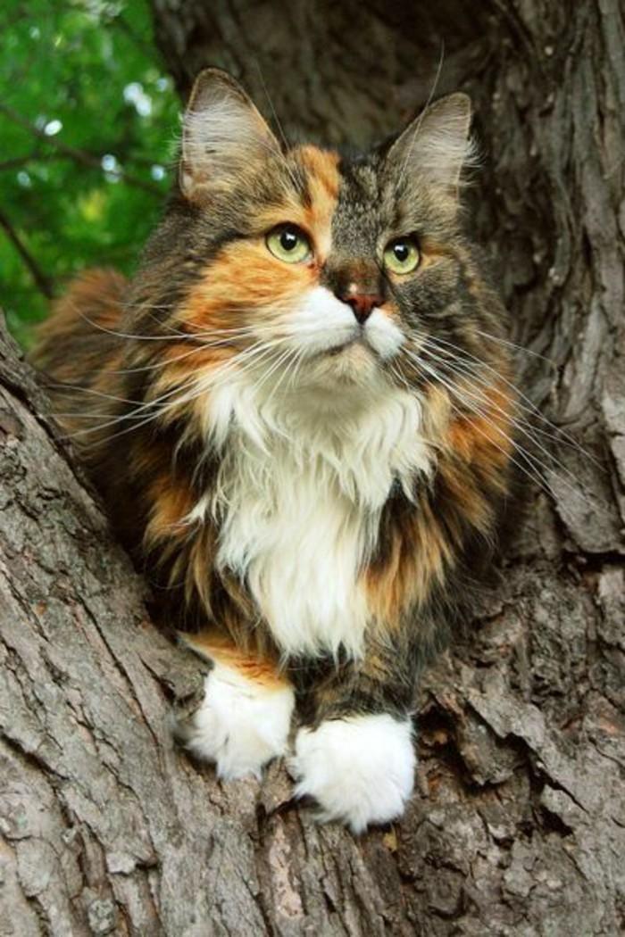 chat-maine-coon-trois-teintes-joli-chat-le-geant-doux