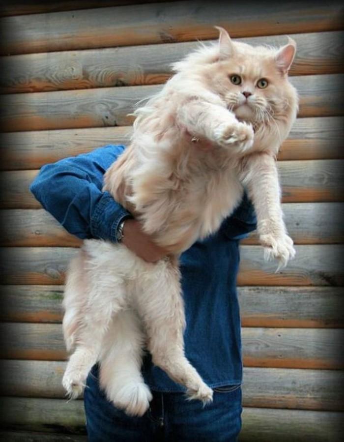 chat-maine-coon-un-chat-bien-soigne-et-grande-taille