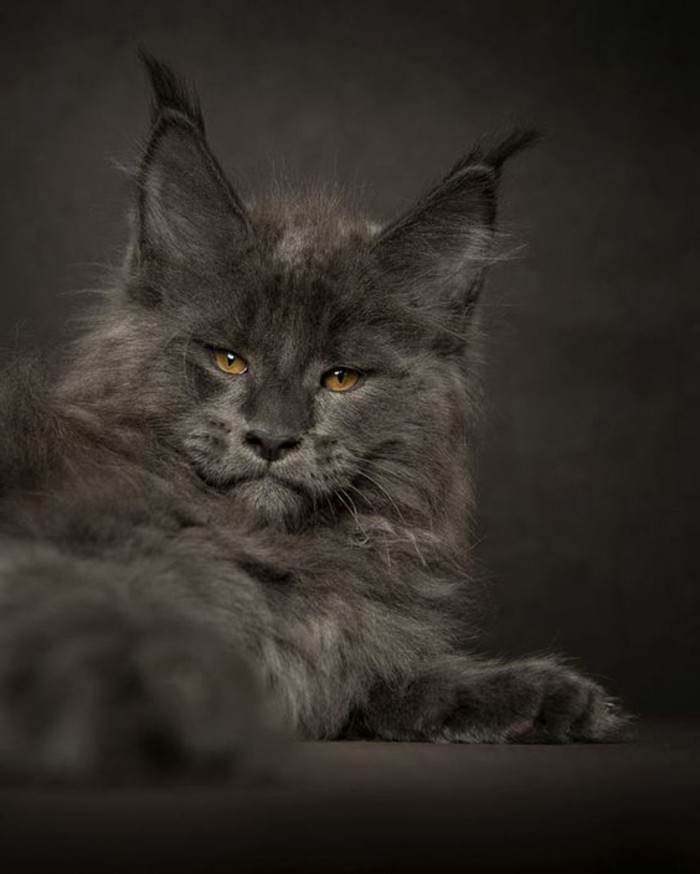 chat-maine-coon-un-chat-capture-par-un-photographe