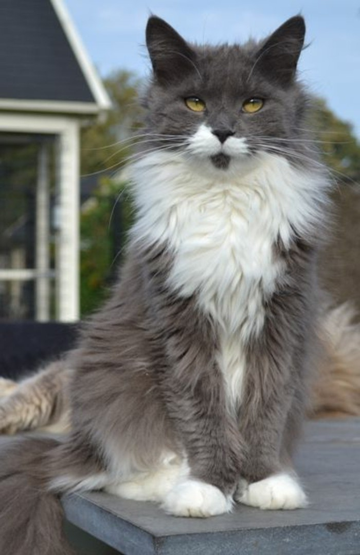 chat-maine-coon-un-chat-majestueux-et-sociable-gris-anthracite