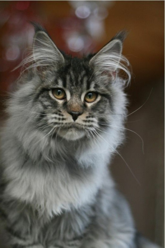 chat-maine-coon-un-chat-qui-parait-comme-un-lion
