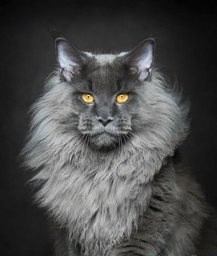 chat-maine-coon-un-exemplaire-qui-respecte-chat-gris
