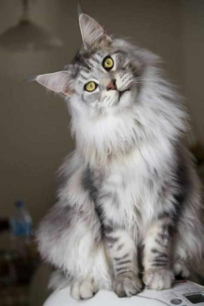chat-maine-coon-un-joli-geant-en-gris-et-blanc-chat-tranquille-et-aimable