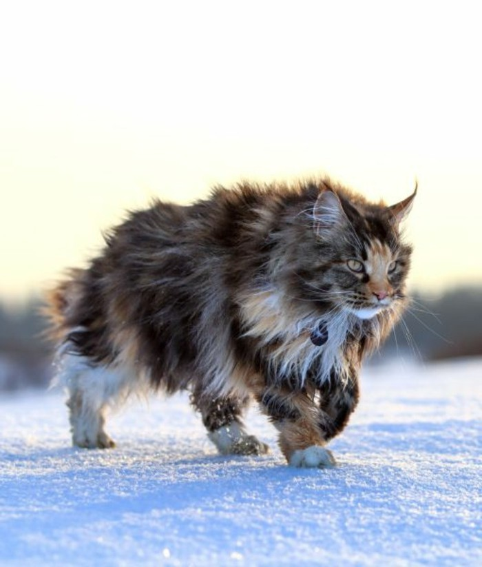 chat-maine-coon-une-belle-femelle-qui-se-promene-dans-la-neige