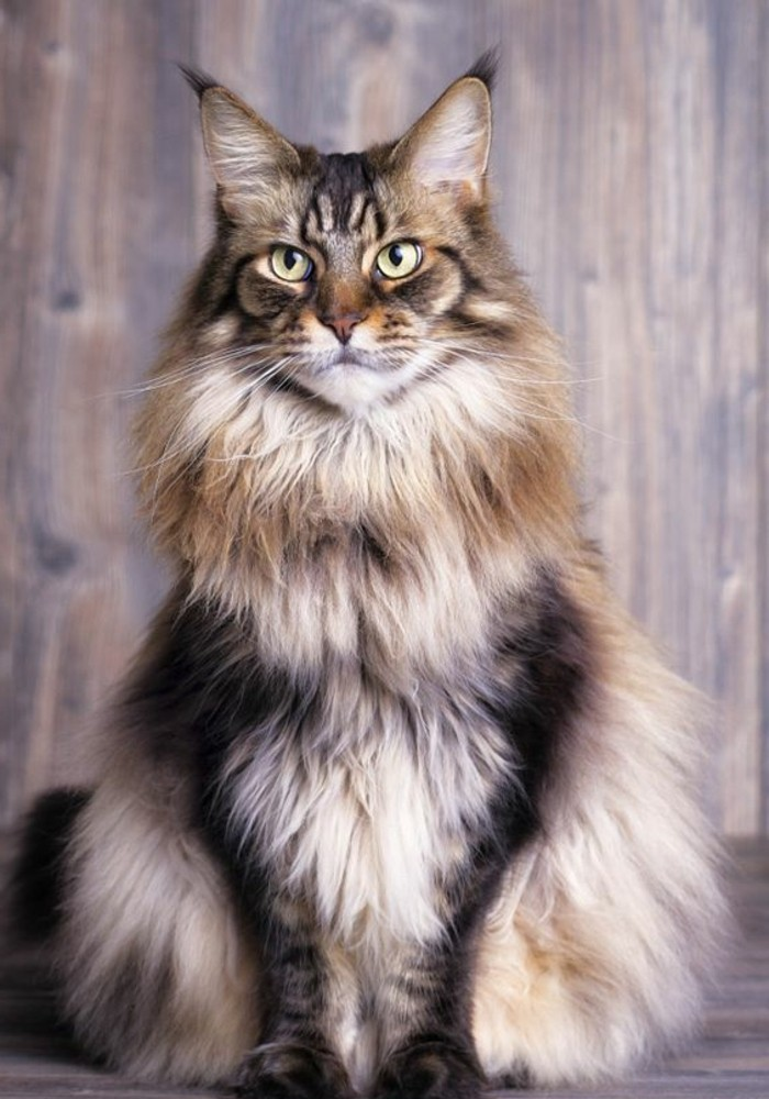 chat-maine-coon-une-princesse-maine-coon-portrait