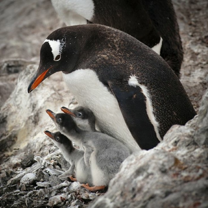 chouett-image-fascinante-difference-entre-manchot-et-pingouin-magnifique