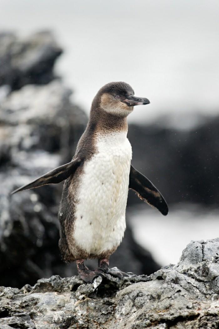 chouette-photo-ou-vivent-les-pingouins-petit-manchot