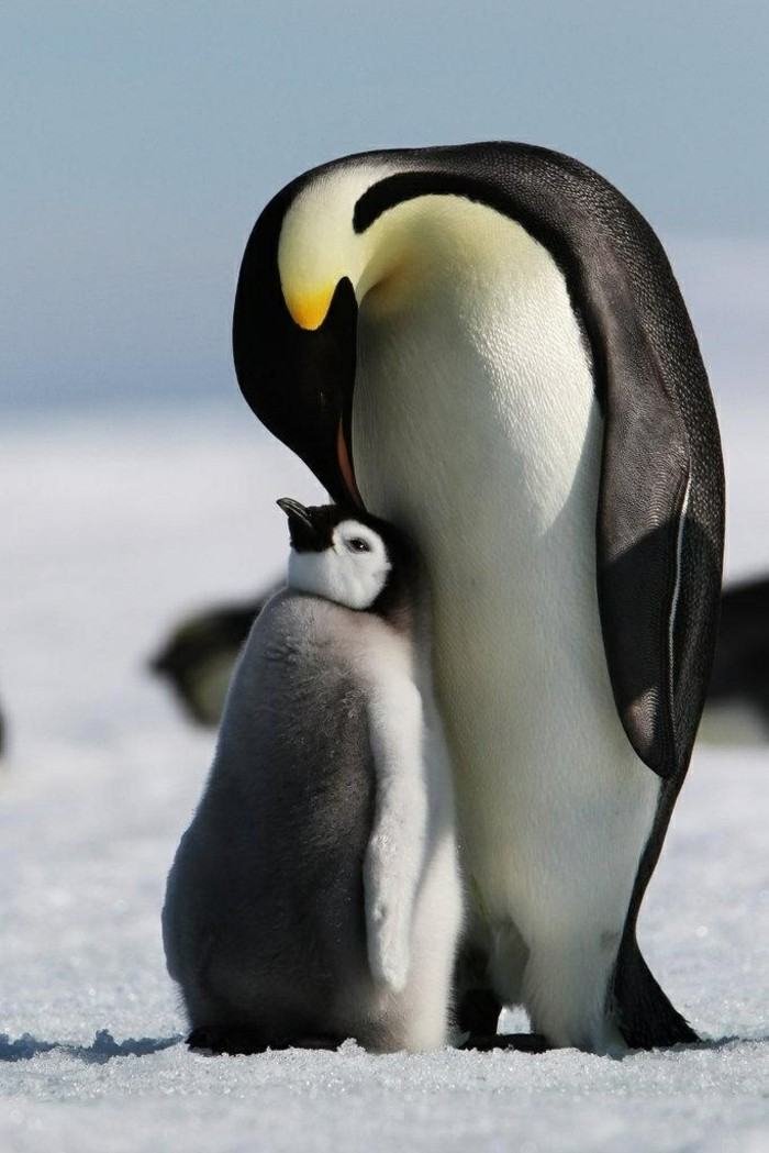 chouette-photo-pingouin-manchot-difference-bebe-manchot