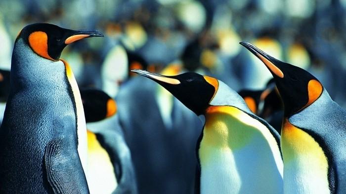 chouettes-pingouins-manchot-difference-bebe-manchot