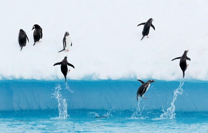 cool-photo-le-manchot-empereur-pinguin-vole-photo-exceptionnelle