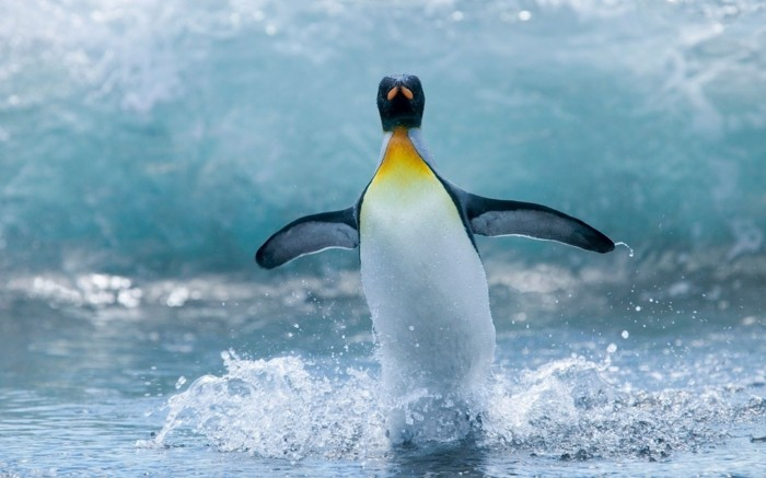 cool-photo-le-manchot-empereur-pinguin-vole-voir-la-mer-et-pinguins-en-ete
