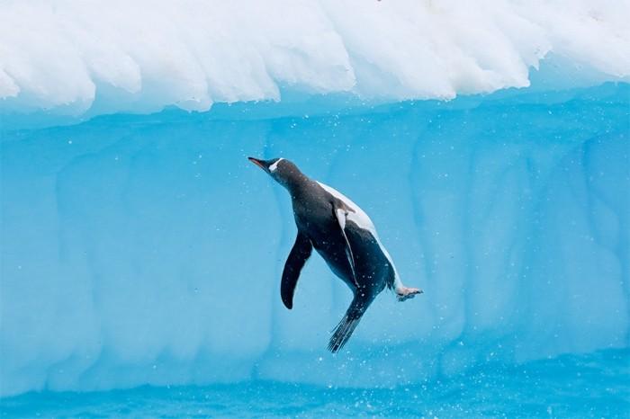 cool-photo-le-manchot-empereur-pinguin-vole