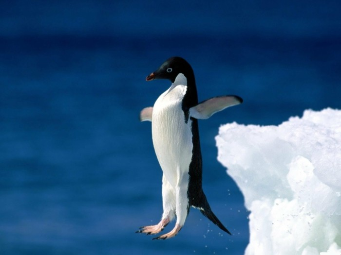 cool-photo-le-manchot-empereur-pinguin-voler-jump
