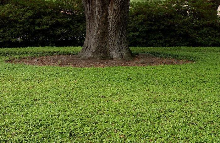 couvre-sol-persistant-plante-tapissante-plantes-rampantes