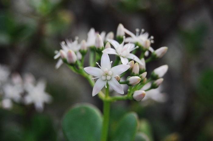 crassula-ovata-fleur-et-plante-d-hiver-balcon
