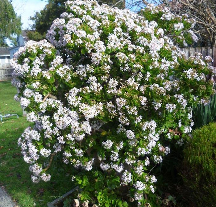 Arbre de Jade ou Crassula Ovata-fleur-hiver-floraison