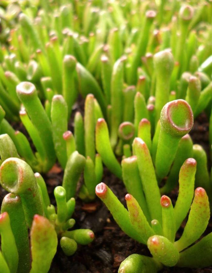 crassula-plante-succulente-plante-grasse-exterieur-plantes-grasses-d-interieur