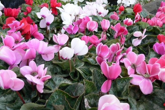 cyclamen-plantes-vivaces-rustqieus-jardin-en-hiver