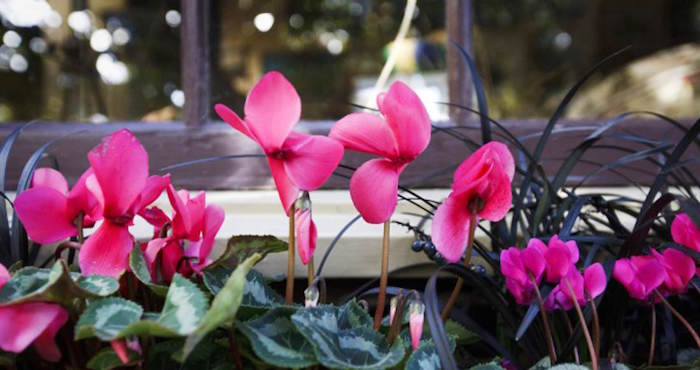 cyclamen-vivace-jardin-dhiver-fleurs-plantes-resistantes