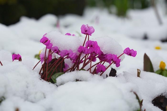 cyclamen-vivace-planter-fleurs-en-hiver