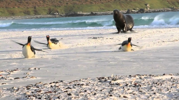 difference-manchot-pingouin-image-mignon-beau-pingouin-volant-manchot-papou