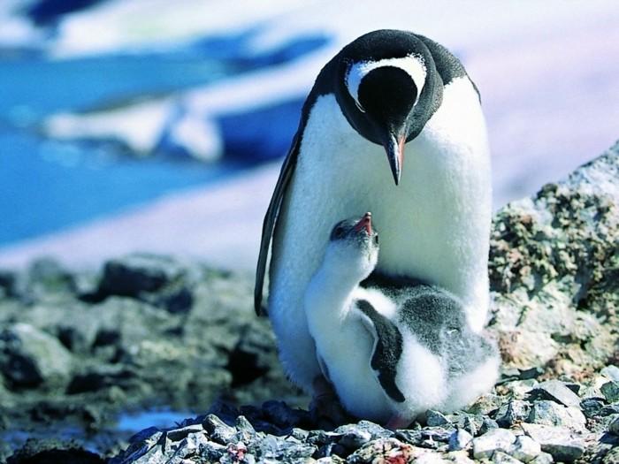 difference-manchot-pingouin-image-mignon-manchon-et-bebe