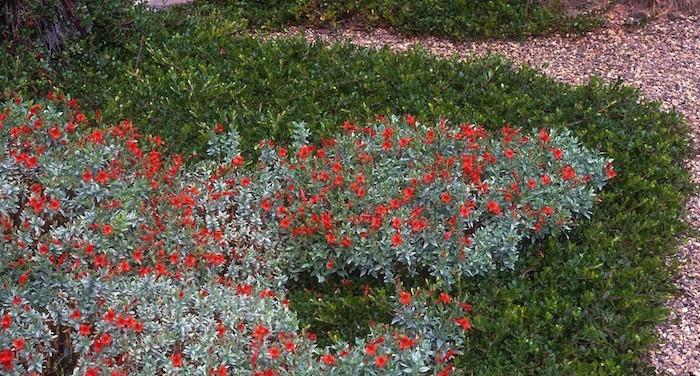 epilobium plante tapissante couvre sol rampantes vives