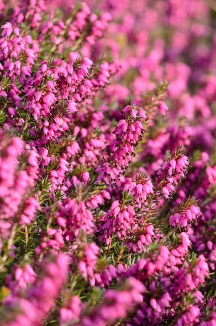 erica bruyere plante hiver floraiso, fleurs resistantes