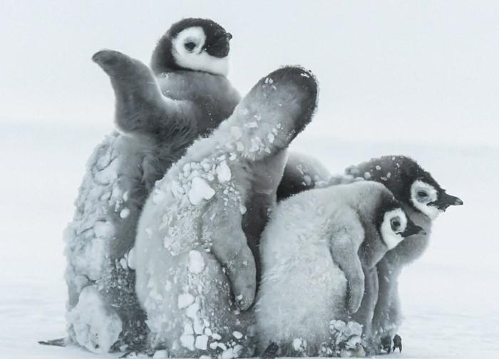 est-ce-que-les-pingouins-volent-belle-photo-hiver-la-neige