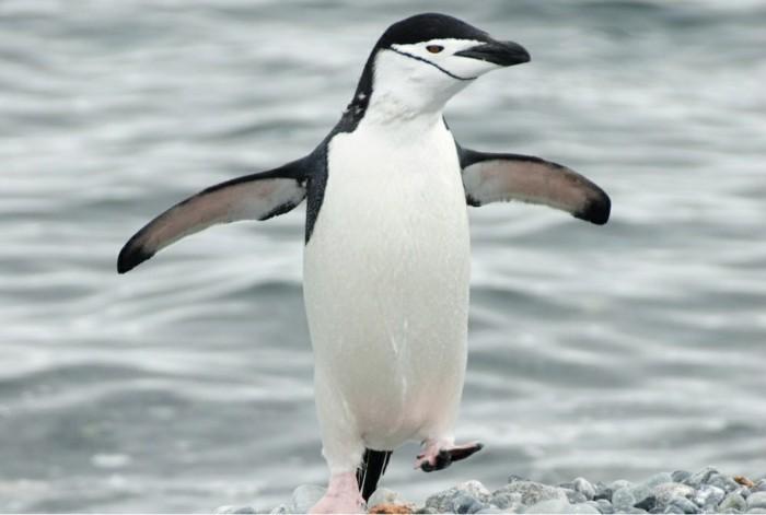 est-ce-que-les-pingouins-volent-belle-photo-la-mer-beau-pinguin